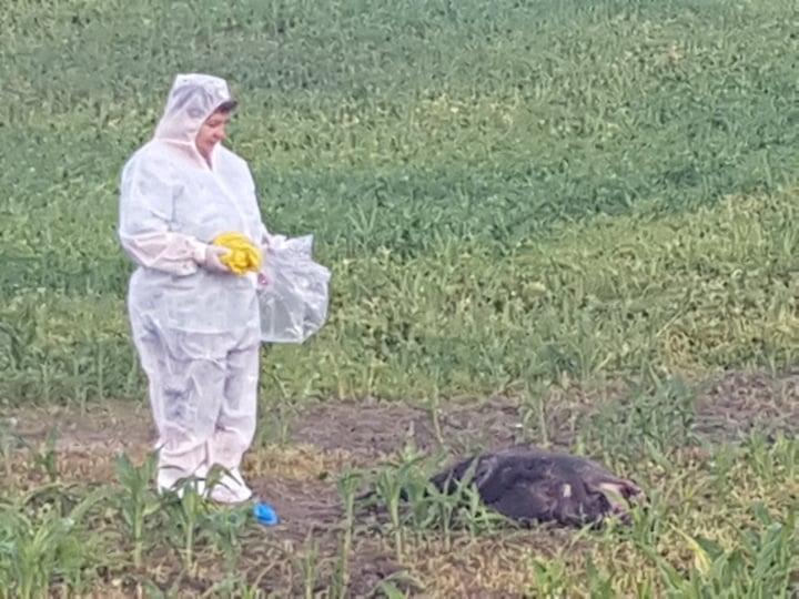 Alertă. Pesta porcină a ajuns la Dângeni. Galerie foto 1