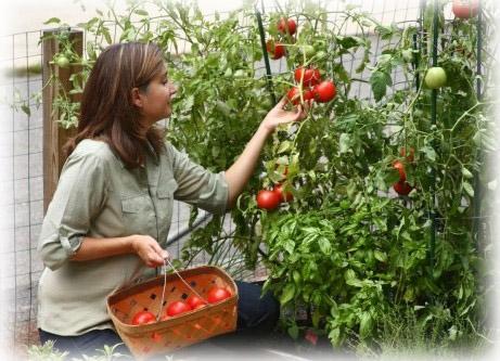 """""""Cultivatorii de tomate din Botoșani sunt duși cu zăhărelu' de Guvernul liberal"""" 17"""